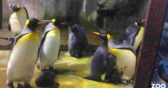Gay penguins at Berlin Zoo set to become parents after adopting an abandoned egg
